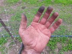 after hand weeding peas (BelmontAcresFarm) Tags: june 2019 belmont farm belmontacres hand weeding