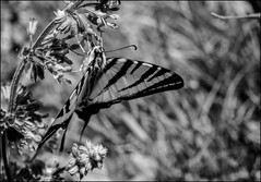 DRA110908_049A (dmitryzhkov) Tags: lepidoptera butterfly analog film epson scanbw monochrome blackandwhite nature animal dmitryryzhkov naturephotography europe animals biology life wildlife wild environment macro macrophotography closeup insect fauna flora butterselect selection biosphere