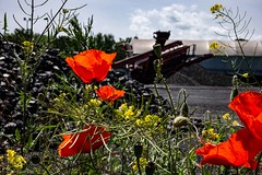Mohn Kohle Industrie (carsten.plagge) Tags: 2019 30mm cp55 carstenplagge lumix macro mohn rot gelb