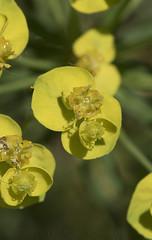 Cypress Spurge (Euphorbia cyparissias) (macronyx) Tags: nature blommor växter växt plants plant flowers flower törel vårtörel euphorbia euphorbiacyparissias spurge cypressspurge
