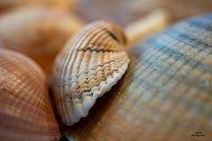 Seashells from the North Sea (AdiStoPhotography) Tags: seashell minolta manual macro macromondays md minoltarokkor50mmmacro sonya7m2 rayqual norway norge curves northsea