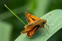 DSCF9732 (Keith Grafton) Tags: haybridge large skipper butterfly