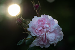 A rose is a rose (9) + lens test (bohelsted) Tags: home em5markii roses garden antique zeiss planar t fantinlatour