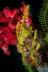 Yellow ghostpipefish couple (Luko GR) Tags: macro yellow underwater philippines diving critters visayas negros dauin red coral ornateghostpipefish solenostomusparadoxus