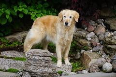 Sunny 24/52 (Lianne (calobs)) Tags: 52 weeks for dogs goldenretriever