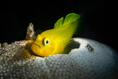 Golden goby guarding the house (Luko GR) Tags: fish macro yellow underwater philippines shell diving critters urchin visayas negros goby dauin