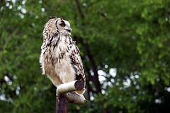 Bengal Eagle Owl - Bubo bengalensis (emilyphillips10) Tags: bubobengalensis owl paradisewildlifepark bird animal wildlife