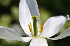 White lily (*Millie*) Tags: easter lily white stamens petals nature plant closeup canoneosrebelt6i ef100mmf28lmacroisusm soe milliecruz
