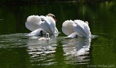 Mute Swans with Baby (Arvo Poolar) Tags: outdoors ontario canada arvopoolar nikond500 bird waterfowl nature naturallight natural naturephotography water reflections muteswan colsamsmithpark
