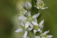 Swertia iberica Lago-Naki July 2018 (Aidehua2013) Tags: swertia iberica gentianaceae gentianales plant flower lagonaki maikopdistrict adygea russia caucasus