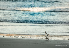 2017. Otago peninsula. (Marisa y Angel) Tags: elmwildlifetours 2017 pingüino nuevazelanda ave vertebrado aotearoa otagopeninsula newzealand megadyptesantipodes yelloweyedpenguin capesaunders animal animale bird oiseau penguin pingouin pinguin pinguino pingüim tier uccello vogel
