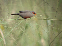 Common Waxbill Estrilda astrild jagoensis (nik.borrow) Tags: bird waxbill estrildid saotome