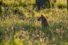 Fox at dusk (Gareth Keevil) Tags: dusk evening fox gardenwildlife garethkeevil gloucestershire goldenhour goldenlight mammal nikon nikon300mmpf nikond500 telephoto weekend wild