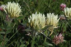 Trifolium cf ochroleucon Lago-Naki July 2018 (Aidehua2013) Tags: trifolium fabaceae fabales clover plant flower lagonaki maikopdistrict adygea russia caucasus
