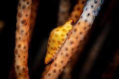 Draper's egg cowrie (Luko GR) Tags: macro underwater philippines diving seashell critters visayas negros cowrie dauin