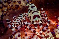 Couple of Coleman shrimps (Luko GR) Tags: macro couple underwater philippines diving critters visayas negros dauin redcolor fireurchin colemanshrimps periclemenescolemani