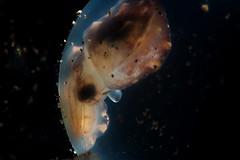 Terra alien (Luko GR) Tags: philippines visayas negros dauin underwater diving macro critters cuttlefish eggs