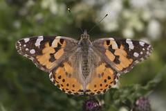 Record Breaker! (Chris Bainbridge1) Tags: painted lady butterfly vanessa cardui nofolk