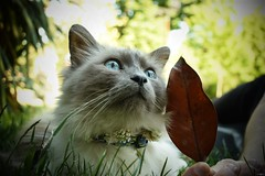 Le Seigneur des Chats (TristanLohengrin) Tags: cat chat kitty kitten sunny day park parc green blue eyes leaf colors