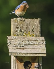 Daddy's here with your worm pizza Kids! (Dr. Farnsworth) Tags: birds male bluebird easternbluebird babies fledge nest box fernridge mi michigan spring june2019 worm pizza