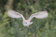 barn owl (2) (colin 1957) Tags: owl barnowl birdofprey