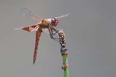 Red saddlebags (jim_mcculloch) Tags: dsc7039 dragonflies