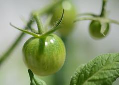 2017-07-21 Green tomatoes (tsegat1) Tags: tomato macro raynox green hggt cmwdgreen colorfulworldgreen hbw