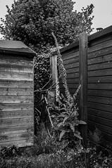 Within These Walls (Brian Travelling) Tags: scotland wood blackandwhite white black tree bike bicycle garden grey mono bush pentax shed things holly wheelbarrow lupin pentaxk20d