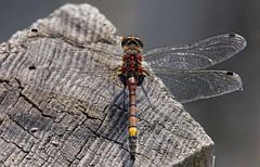 F36A9544_ZS_DMap_9p_ret_DxO_4000 (solkatt64) Tags: dragonflies insects nature