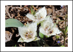 Shirley Meadows Wildflowers (AussieinUSA) Tags: california kerncounty 2019wildflowers 2019 wildflowers shirleymeadowssnowpark rancheriard greenhornmountains shirleymeadowsstartulip calochortuswestonii