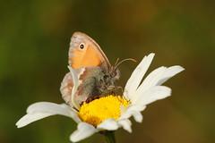 Small heath butterfly (jon lees) Tags: small heath butterfly lead mines newtownards northernireland countydown whitespots