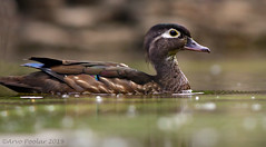 Wood Ducks of High Park (Arvo Poolar) Tags: outdoors ontario canada torontohighpark arvopoolar bird water waterfowl reflections nature naturallight natural naturephotography nikond500 woodduck female