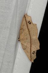Picrophylla hyleora (dhobern) Tags: 2019 april australia lamingtonnationalpark lepidoptera queensland geometridae ennominae picrophyllahyleora