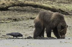 _DSC3445-ps (Alpsoandso) Tags: grizzly bear khutzymateen rainforest nature
