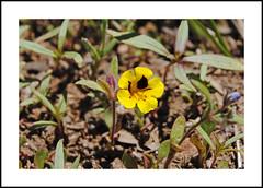 Shirley Meadows Wildflowers (AussieinUSA) Tags: california wildflowers 2019 kerncounty greenhornmountains rancheriard 2019wildflowers shirleymeadowssnowpark harlequinmonkeyflower diplacusbicolor