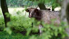 Highland Cattle (jochenspieker) Tags: cow robustrind kuhschule lieth highlandcattle kleinnordende selp18105g forest bath pool