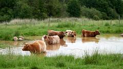 Highland Cattle (jochenspieker) Tags: cow robustrind kuhschule lieth highlandcattle kleinnordende selp18105g bath pool