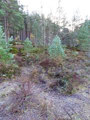 , 2018 Nov 01 (Dunnock_D) Tags: britain gb highland highlands scotland uk uath unitedkingdom bench forest grass green ground roots sky trees white woodland woods kingussie