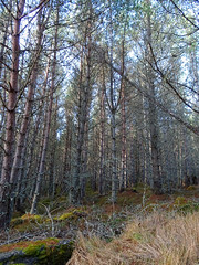 , 2018 Nov 01 (Dunnock_D) Tags: britain gb highland highlands scotland uk uath unitedkingdom forest grass green trees woodland woods kingussie