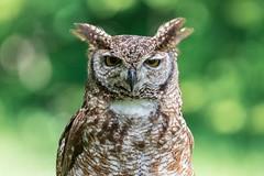 Hibou (Dakysto94) Tags: animal hibou duc oiseau bird owl rambouillet