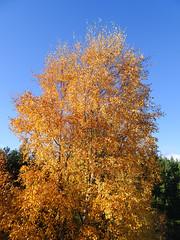, 2018 Nov 01 (Dunnock_D) Tags: britain gb highland highlands scotland uk uath unitedkingdom autumn blue clouds forest sky tree trees white woodland woods kingussie