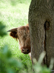 Highland Cattle (jochenspieker) Tags: cow robustrind kuhschule lieth highlandcattle kleinnordende selp18105g forest
