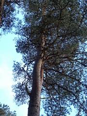 , 2018 Nov 01 (Dunnock_D) Tags: britain gb highland highlands scotland uk uath unitedkingdom blue clouds forest sky tree trees white woodland woods kingussie