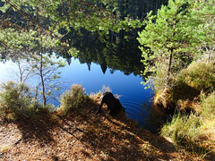 , 2018 Nov 01 (Dunnock_D) Tags: uk blue reflection green grass clouds forest reflections scotland highlands unitedkingdom britain highland gb lochan uath trees sky sun white water woodland woods kingussie dog weimarador weimrador