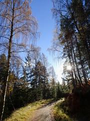 , 2018 Nov 01 (Dunnock_D) Tags: britain gb highland highlands scotland uk uath unitedkingdom weimarador weimrador blue clouds dog forest grass green sky sun trees white woodland woods kingussie