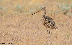 Marbled Godwit (Limosa fedoa) - Tilley, AB (bcbirdergirl) Tags: marbledgodwit marwit tilley ab alberta shorebird wader limosafedoa