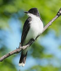 eastern kingbird 20190616 (johngor2014) Tags: ottawa ontario canada bird easternkingbird