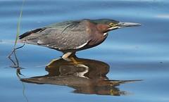 green heron 20190616 (johngor2014) Tags: greenheron ottawa ontario canada bird