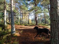 , 2018 Nov 01 (Dunnock_D) Tags: britain gb highland highlands scotland uk uath unitedkingdom weimarador weimrador blue clouds dog forest grass green sky trees white woodland woods kingussie