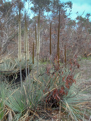 DSC01243 (slackest2) Tags: grass tree black boy aldinga srub south australia bush burnt sand yacca